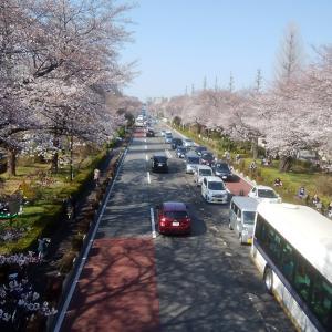 学園都市国立、大人のお花見散歩コース