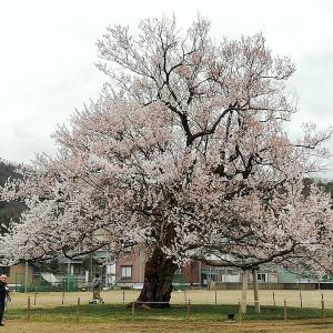 家の近所の、味真野小学校の🌸桜もそろそろ見頃です^^)