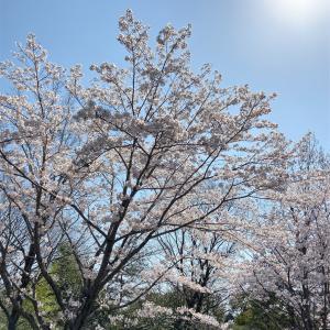 ランニングと桜と花見🌸