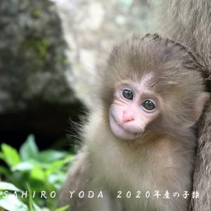 2020年6月28日地獄谷野猿公苑(2020年産の子猿)長野県山ノ内町
