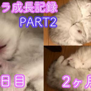 サラリーマンがペルシャの赤ちゃん猫を飼う話。子猫を飼う方法解説