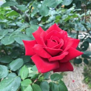 鎌倉花めぐり 5月 バラ(薔薇)