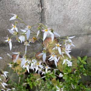 鎌倉花めぐり 5月 ユキノシタ(雪の下)