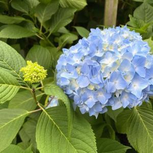 鎌倉花めぐり 6月 アジサイ(紫陽花)