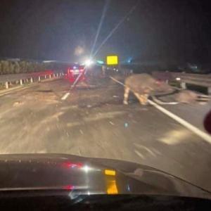 高速道路で水牛5頭が亡くなる事故発生