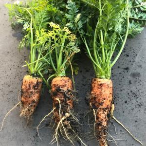 家庭菜園の野菜の収穫