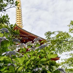 あじさいの花と五重塔