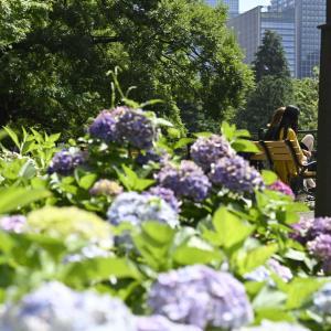 日比谷公園で紫陽花と日光浴
