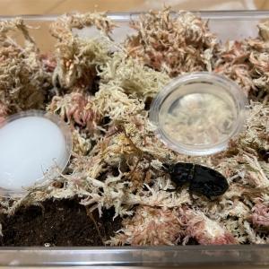 ムナコブクワガタ 産卵セット ラトレイユキンイロクワガタ 産卵セット