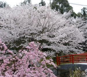 上島町岩城桜まつりのイベント内容
