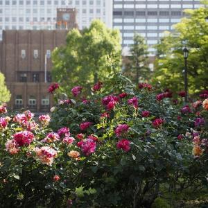 日比谷松本楼さんのカレーと日比谷公園のバラ鑑賞