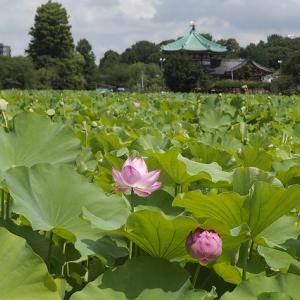 不忍池で蓮の鑑賞と上野「菜の花」で和食ランチ