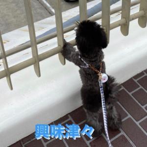 宇野トロ&エマ日記 明日から幼稚園 今日もお散歩♪ トロ姫が叔母さんになる日