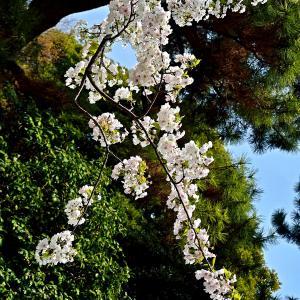 皇居庭園桜