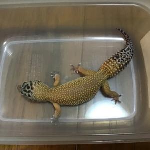 爬虫類は購入を考えてる時が一番楽しい