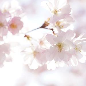 今年の桜は 格別美しい