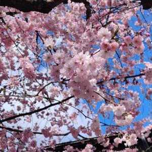 ボンの桜とケルン大聖堂