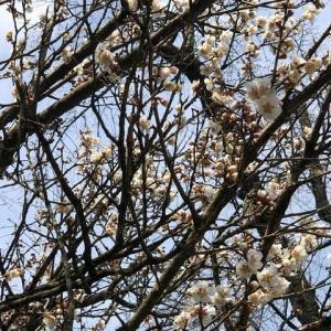 梅が咲き頃、角館武家屋敷