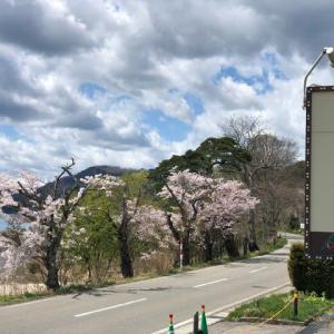 今年の桜が!