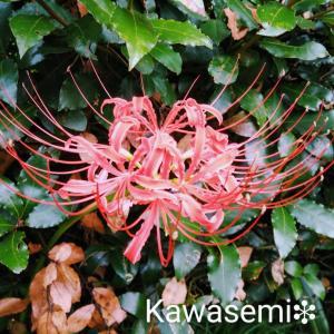 彼岸花❆緋色に彩られる里の秋