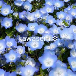 ネモフィラ🌷花達が素敵!『国営ひたち海浜公園』【ひたちなか市】
