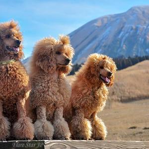 母犬スターシャと二人の娘★スタンダードプードル家族★阿蘇山散歩