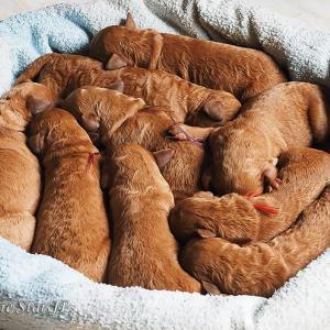 スピカの子犬達★生後三日目★スタンダードプードル子犬★福岡