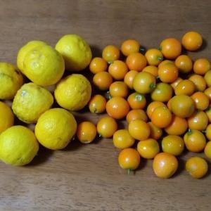 手作り柚子酒と金柑酒