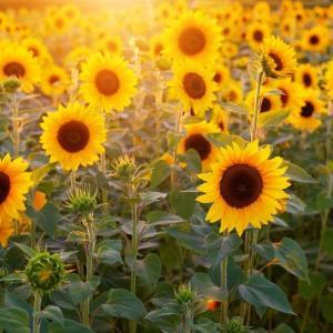 ビタミンDと紫外線 | 日焼け止めで骨粗しょう症のリスク?