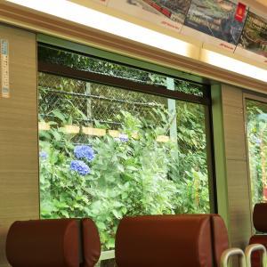 箱根登山電車の車窓からあじさいを楽しむ