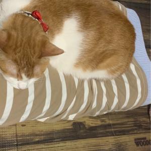 俺の家の元捨て猫の伝説の王女、らゔぃ(猫)ちゃんを徹底追跡