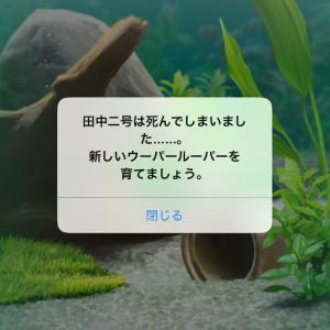 【訃報】長年飼っていたウーパールーパー死す(泣 画像あり