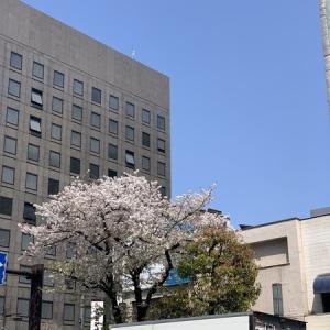 2020年の桜@人形町浜町周辺は4月上旬まででした・・・花見酒はできませんでしたが、綺麗な桜でした