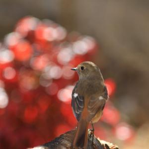 薪をしているとやってくる鳥が・・・
