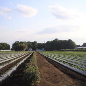 美味しい富の川越いもを育む、三富新田の循環型農法・家庭菜園で再現?
