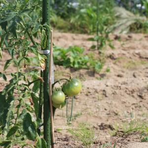 トマトが萎れる原因と対策【水をあげると逆効果なことも!?】
