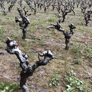 【フランス2020ヴィンテージ】3/24-25にかけてラングドック一部で致命的な霜害:収量80%減の畑も