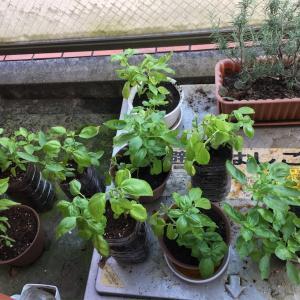 ベランダ菜園のバジルでジェノベーゼ