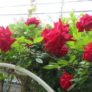 ツル薔薇「アンクルウオーター」も終盤・・・