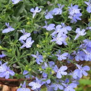 涼し気なブルーの花「アローズコンパクト」(ロベリア系)・・・