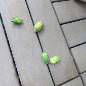 持ちこたえて咲いてくれた「ハイビスカス」・・・
