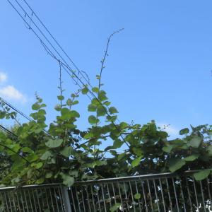 進出してきた「キウイ」の枝&庭の花で・・・