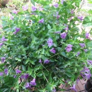 水遣り頑張っているので良く咲いてくれる「トレニア」・・・