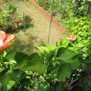 ハイビスカスの花びらが「灼けた」ほど、強い陽射し・・