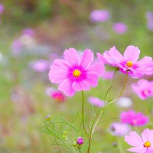 どれだけ風に吹かれても折れない花。秋桜―コスモスーのような人になりたい