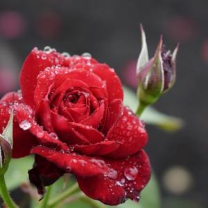 【その女、ジルバ。第9話】草笛光子さん×薔薇。コンテンポラリーダンスのように紡がれるくじらママの壮絶過去