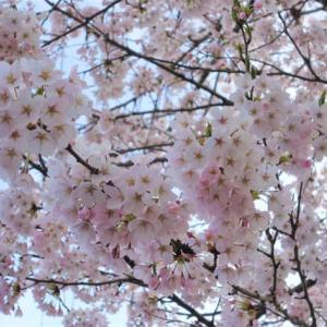春4 桜が満開