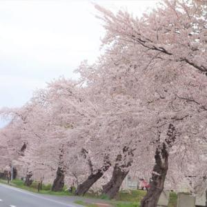 春5 雄物川沿いの桜 満開!