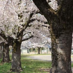 三関小学校の桜 春6