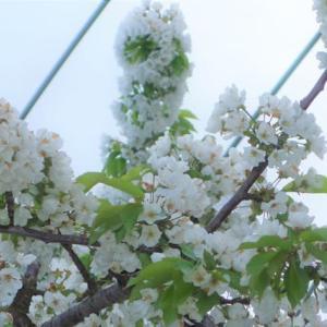 春7 さくらんぼが満開